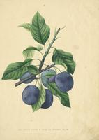 The  Prune D'Agen or Robe De Sergent Plum