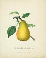 The  Van Mons Leon le Clerc Pear
