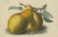 Brockworth Park Pear