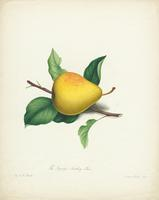 The  Rapaljie Seedling Pear