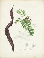 Gleditschia Triacanthos Honey Locust