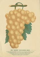 Golden Pocklington Grape