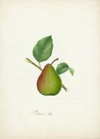 Andrews' Pear