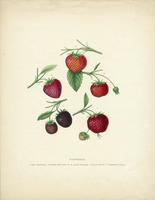 Strawberries; I. Ohio Mammoth. II. Burr's New Pine McAvoy's Superior. IV. Black Prince. V. Triomph