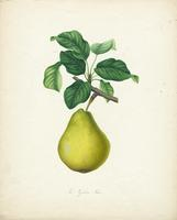 The  Napolean Pear