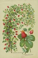 Clematis Coccinea
