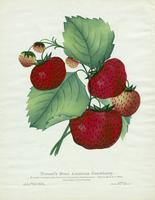 Durand's Great American Strawberry