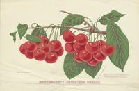 Montmorency Ordinaire Cherry