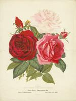 Roses: Duke of Connaught, Pearl and Beauty of Stapleford