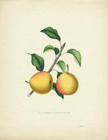 The  Duchesse de Berry D'Ete Pear