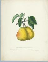 The  Virgalieu or White Doyenne Pear
