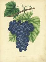 Isabella Grape