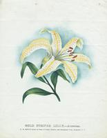 Gold Striped Lilly. Auratum