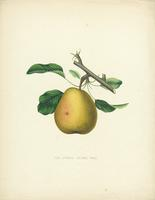 The  Oswego Beurre Pear